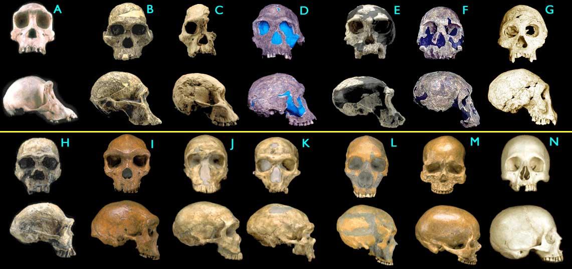 fossil-hominid-skulls.jpg