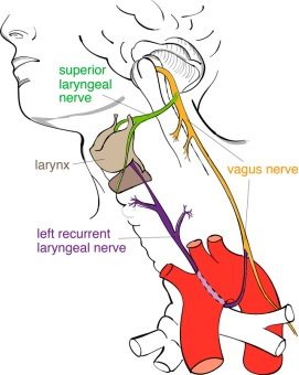 Recurrent_laryngeal_nerve-for_web